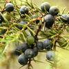 Plantele aromatice (2)